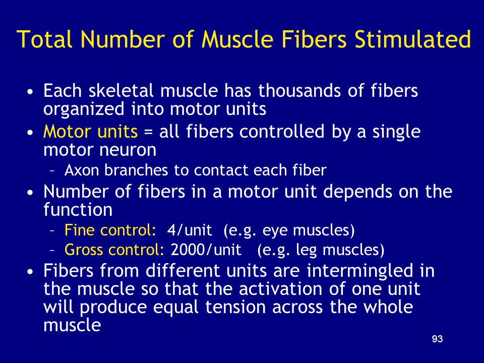 Total Number of Muscle Fibers Stimulated