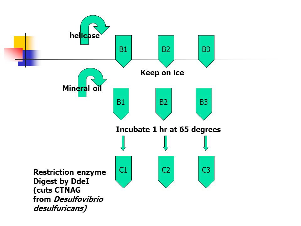 helicase B1. B2. B3. Mineral oil. Keep on ice. B1. B2. B3. Incubate 1 hr at 65 degrees. C1.