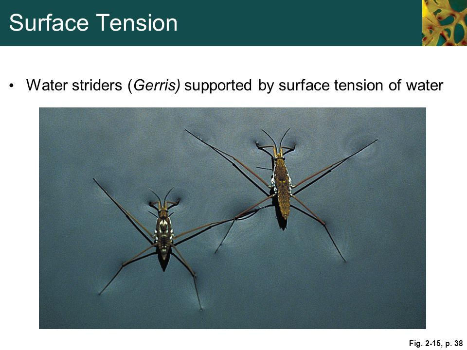Surface Tension Water striders (Gerris) supported by surface tension of water. Figure 2.15: Surface tension of water.