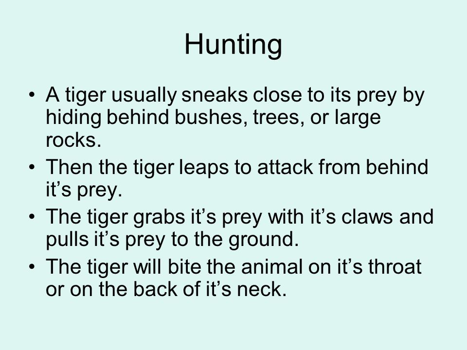 Hunting A tiger usually sneaks close to its prey by hiding behind bushes, trees, or large rocks.