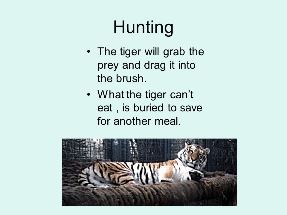 Hunting The tiger will grab the prey and drag it into the brush.