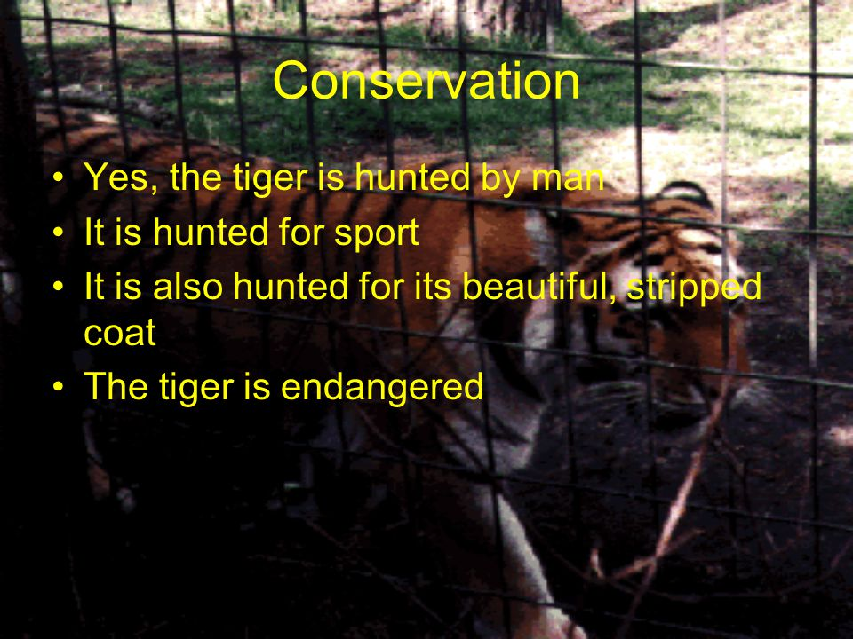 Conservation Yes, the tiger is hunted by man It is hunted for sport