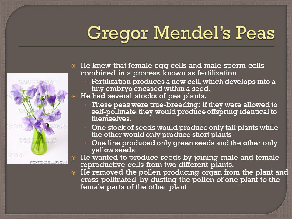 Gregor Mendel's Peas He knew that female egg cells and male sperm cells combined in a process known as fertilization.