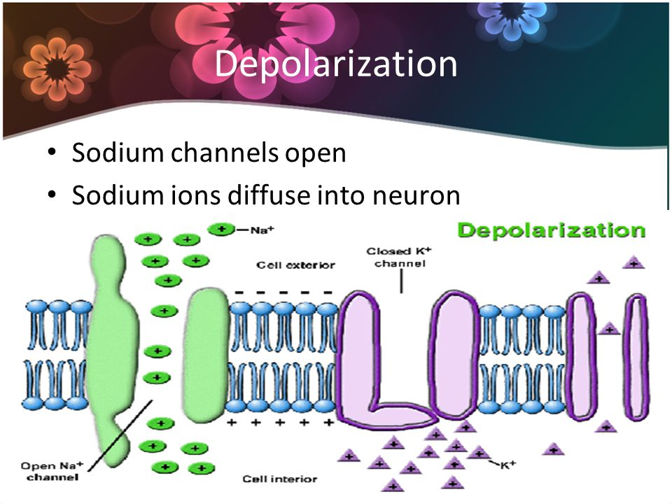 Depolarization Sodium channels open Sodium ions diffuse into neuron