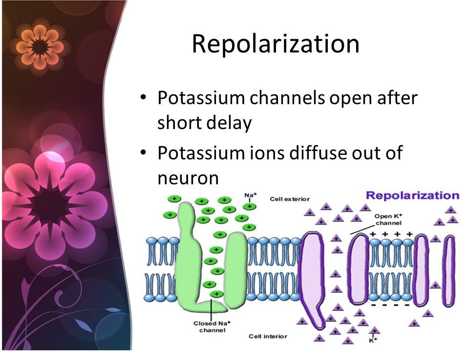 Repolarization Potassium channels open after short delay