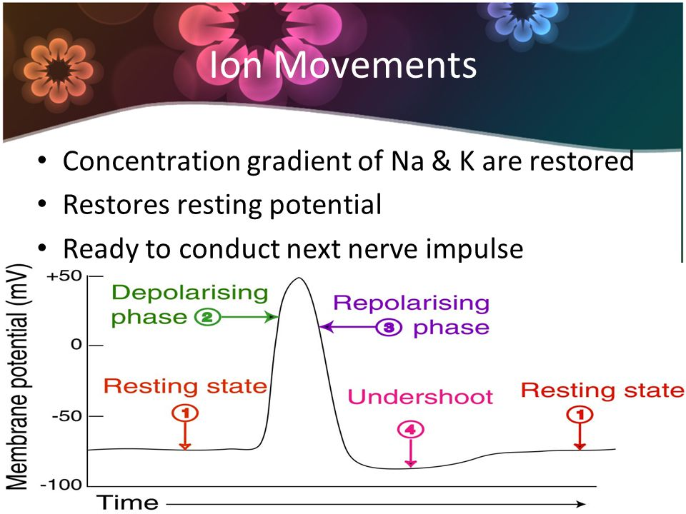 Ion Movements Concentration gradient of Na & K are restored