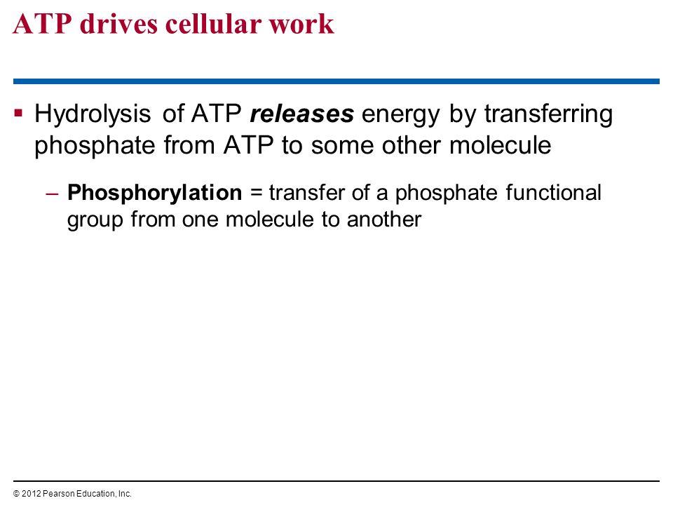ATP drives cellular work
