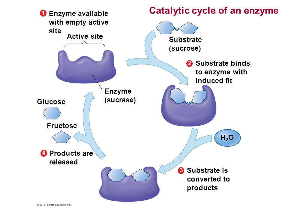 Catalytic cycle of an enzyme