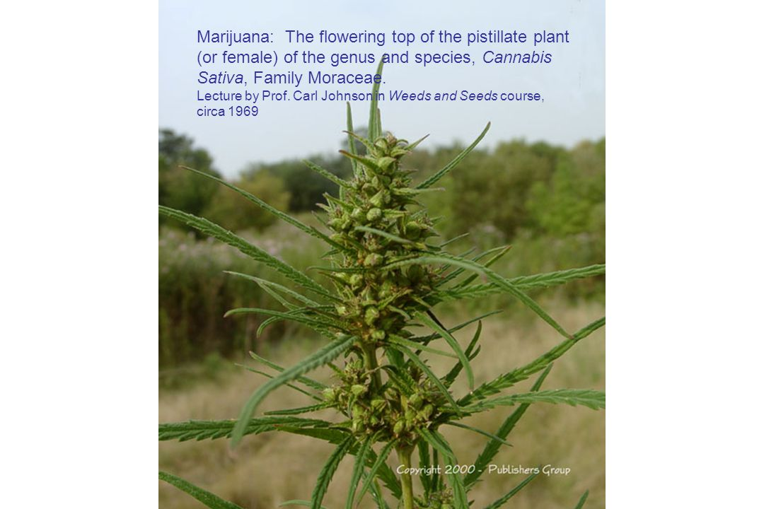 Marijuana: The flowering top of the pistillate plant (or female) of the genus and species, Cannabis Sativa, Family Moraceae.