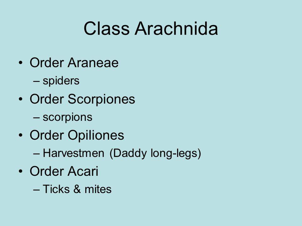 Class Arachnida Order Araneae Order Scorpiones Order Opiliones