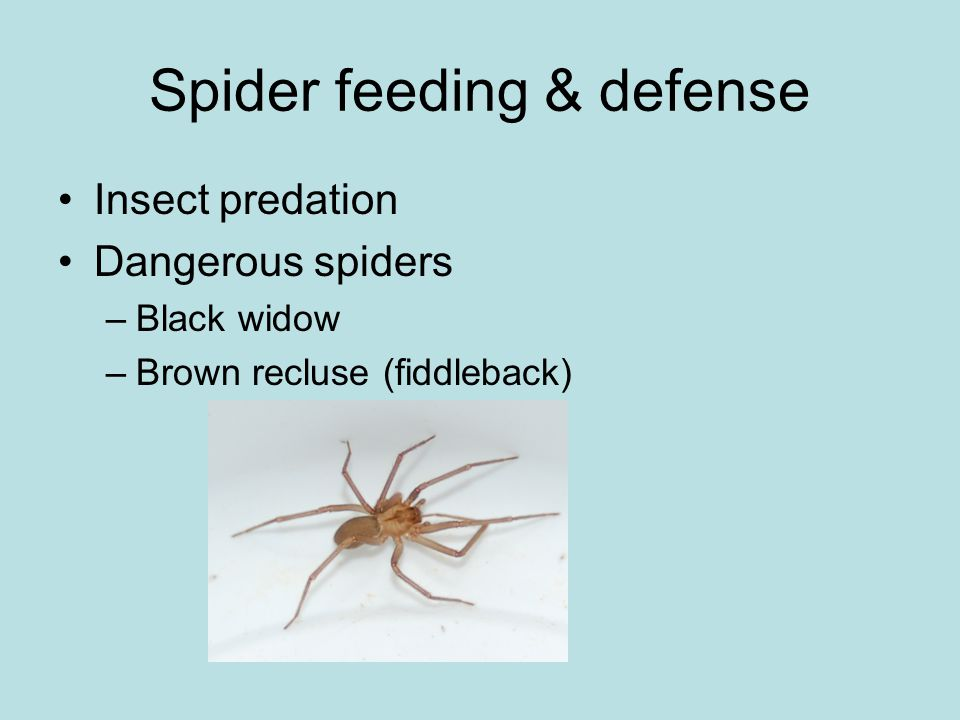 Spider feeding & defense