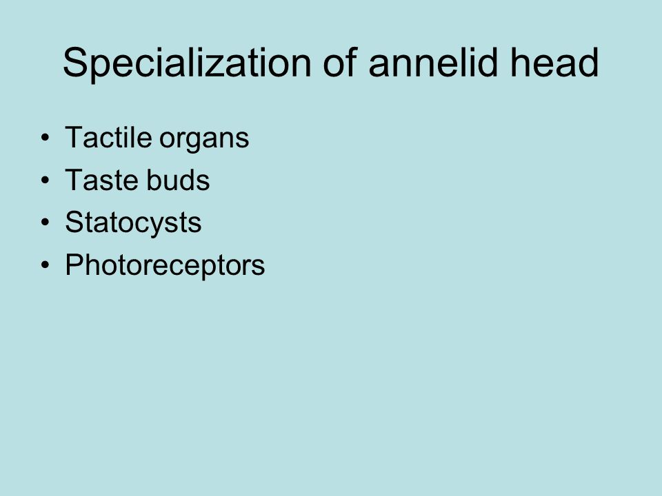 Specialization of annelid head