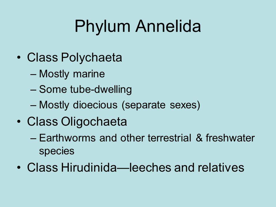 Phylum Annelida Class Polychaeta Class Oligochaeta