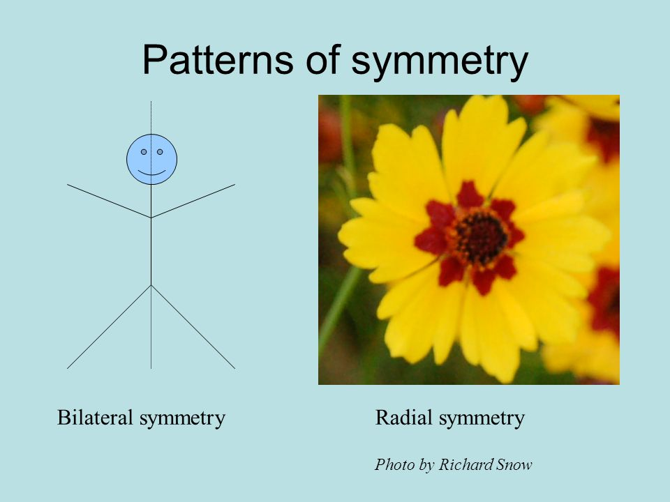 Patterns of symmetry Bilateral symmetry Radial symmetry