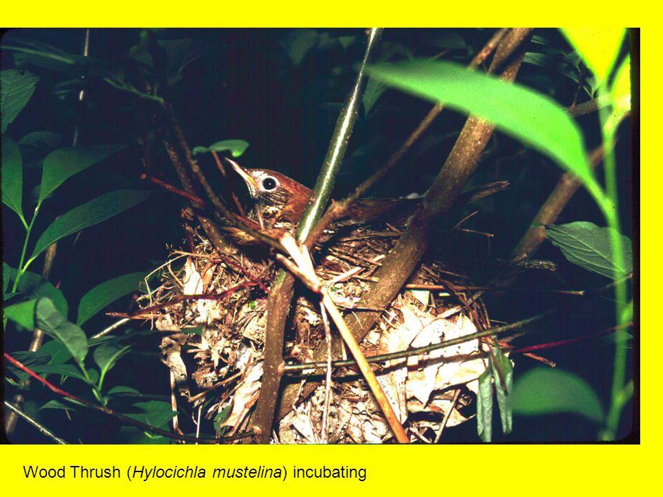 Wood Thrush (Hylocichla mustelina) incubating