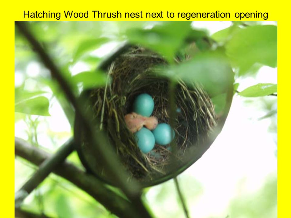 Hatching Wood Thrush nest next to regeneration opening