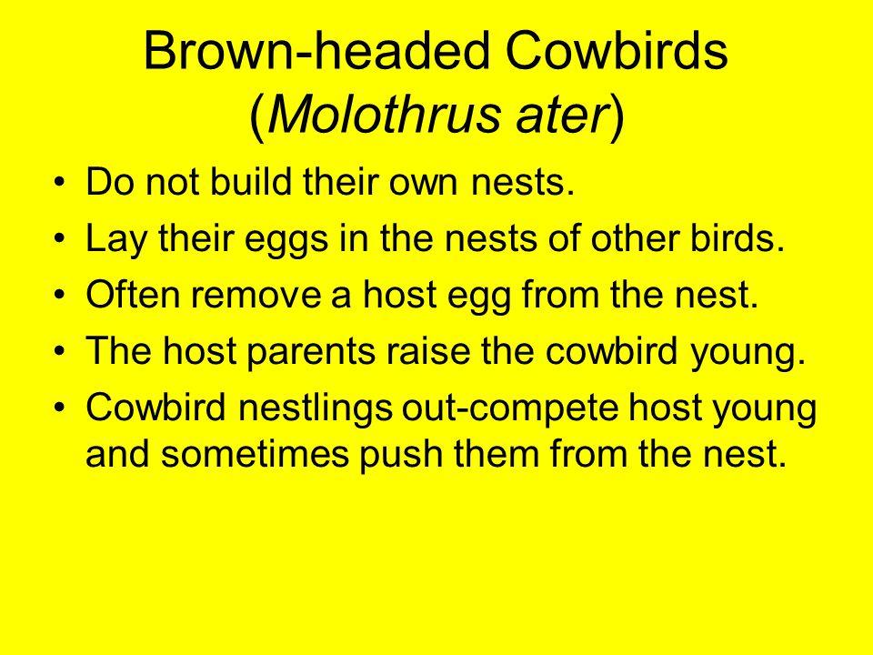 Brown-headed Cowbirds (Molothrus ater)