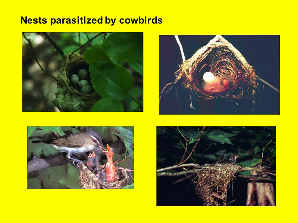 Nests parasitized by cowbirds