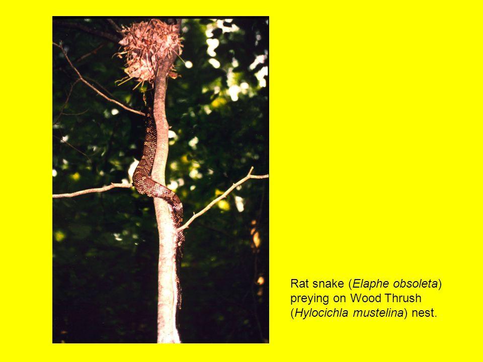 Rat snake (Elaphe obsoleta) preying on Wood Thrush (Hylocichla mustelina) nest.