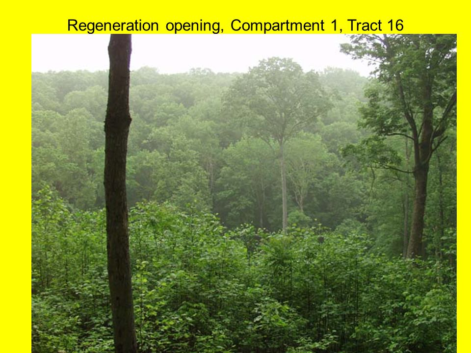 Regeneration opening, Compartment 1, Tract 16