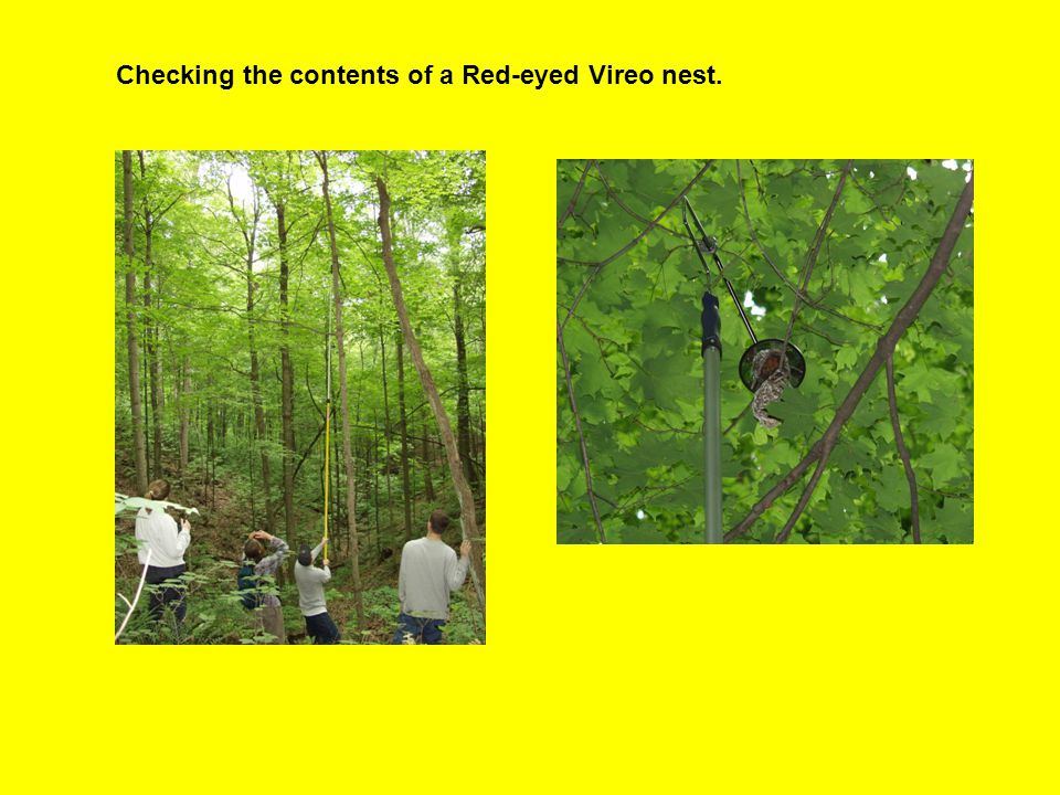 Checking the contents of a Red-eyed Vireo nest.