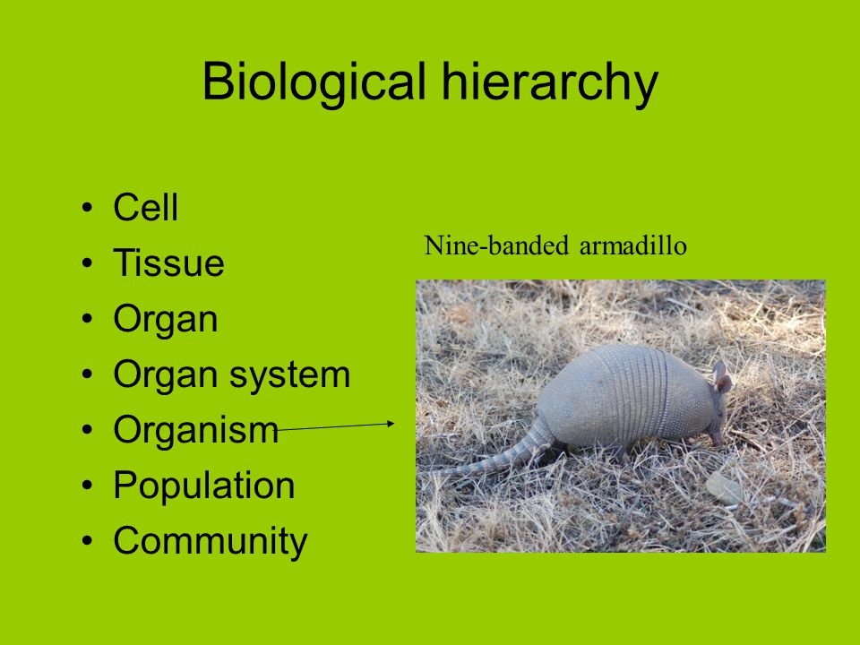 Biological hierarchy Cell Tissue Organ Organ system Organism