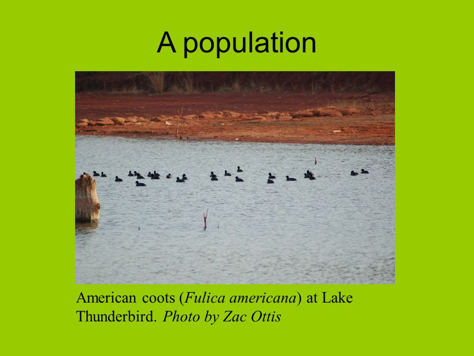 A population American coots (Fulica americana) at Lake Thunderbird. Photo by Zac Ottis