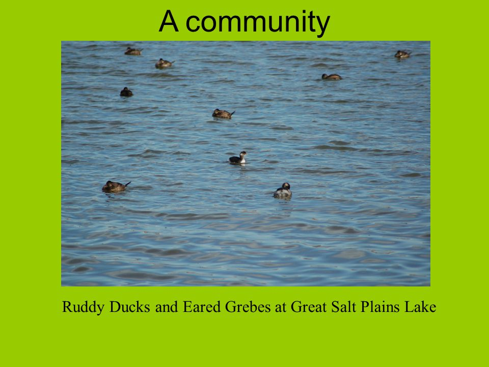 A community Ruddy Ducks and Eared Grebes at Great Salt Plains Lake