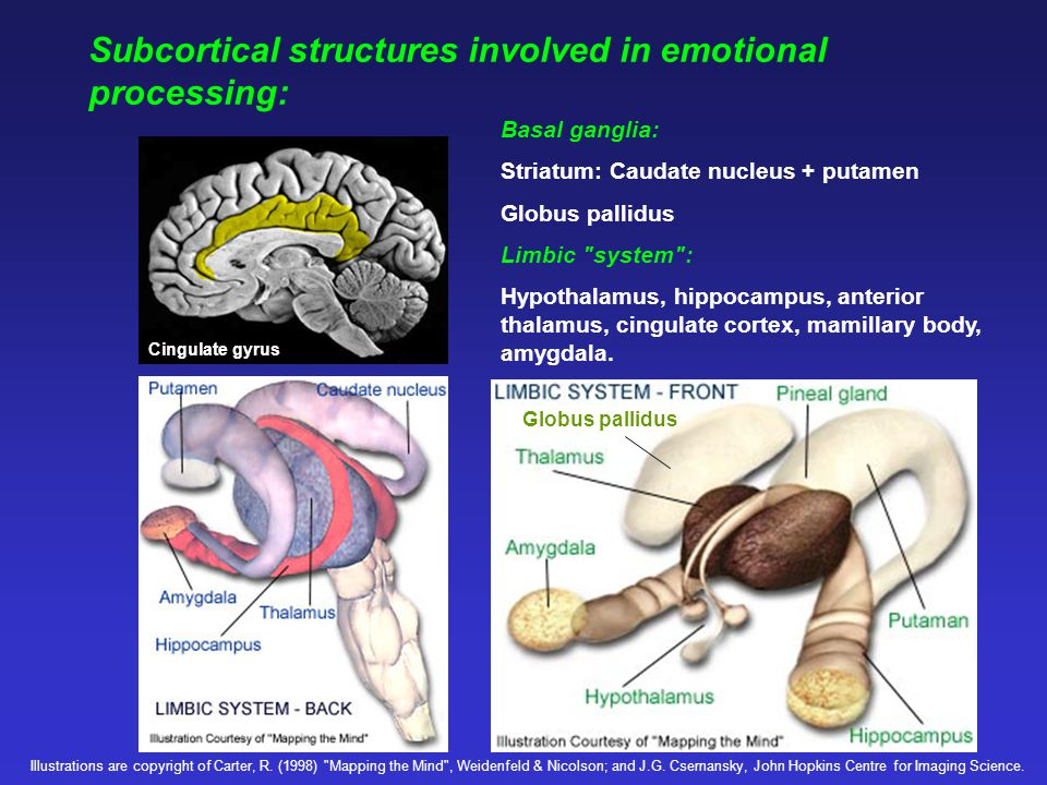 Subcortical structures involved in emotional processing:
