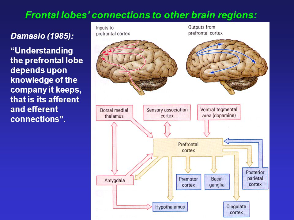 Frontal lobes' connections to other brain regions: