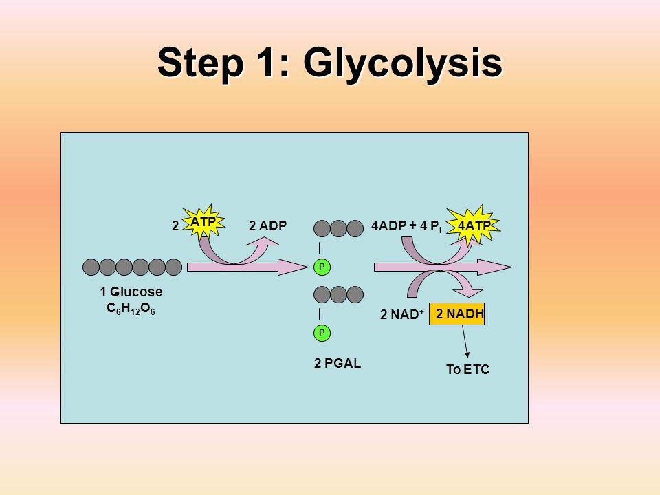 Step 1: Glycolysis ATP 2 2 ADP 4ADP + 4 Pi 4ATP 1 Glucose C6H12O6