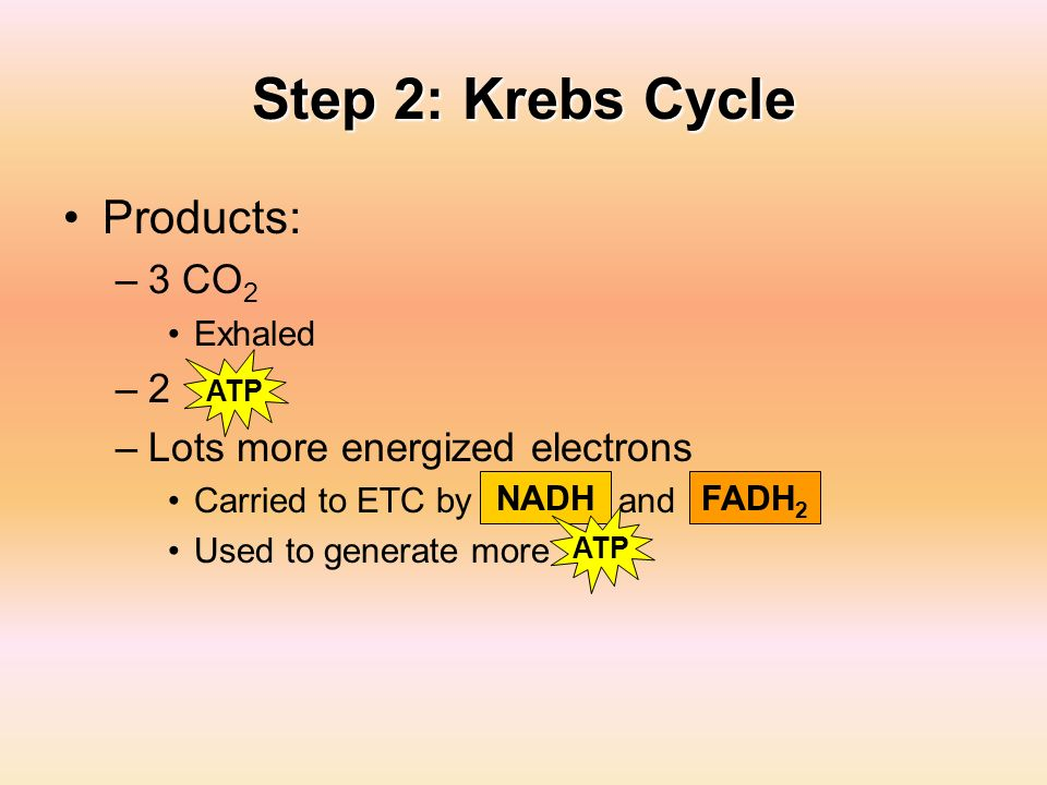 Step 2: Krebs Cycle Products: 3 CO2 2 Lots more energized electrons