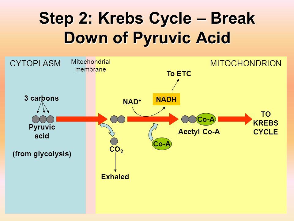 Step 2: Krebs Cycle – Break Down of Pyruvic Acid