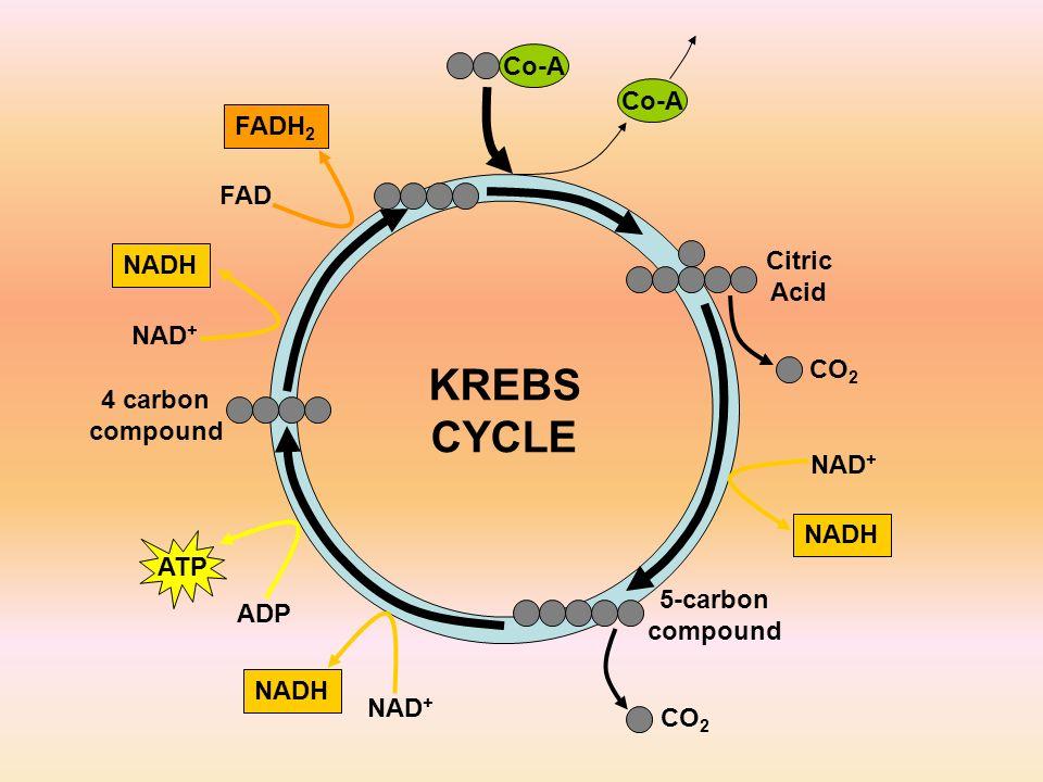KREBS CYCLE Co-A Co-A FADH2 FAD Citric NADH Acid NAD+ CO2 4 carbon