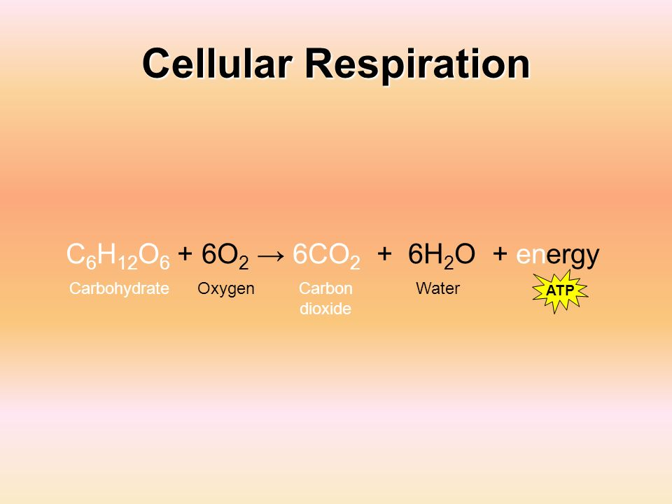 Cellular Respiration C6H12O6 + 6O2 → 6CO2 + 6H2O + energy Carbohydrate