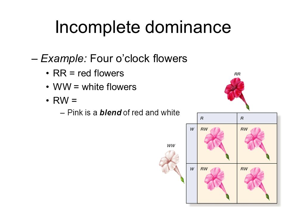 Incomplete dominance Example: Four o'clock flowers RR = red flowers