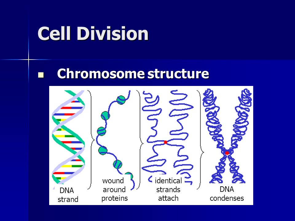 Cell Division Chromosome structure wound around proteins identical