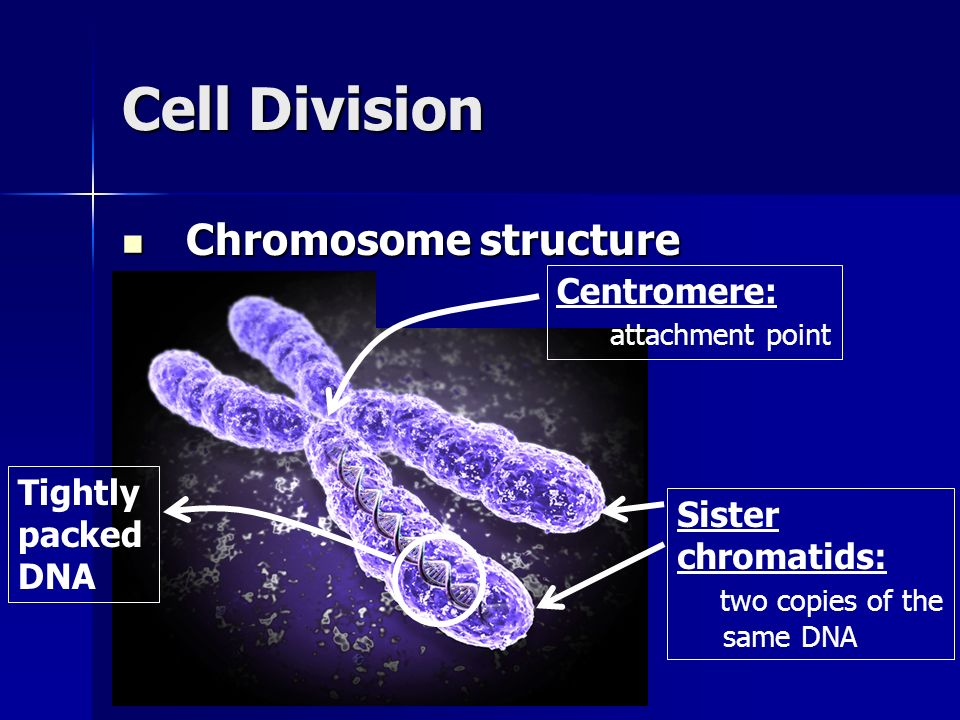 Cell Division Chromosome structure Centromere: attachment point