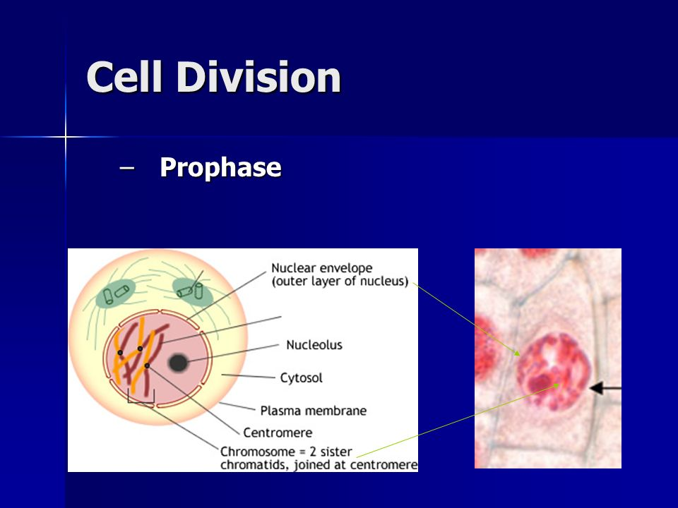 Cell Division Prophase
