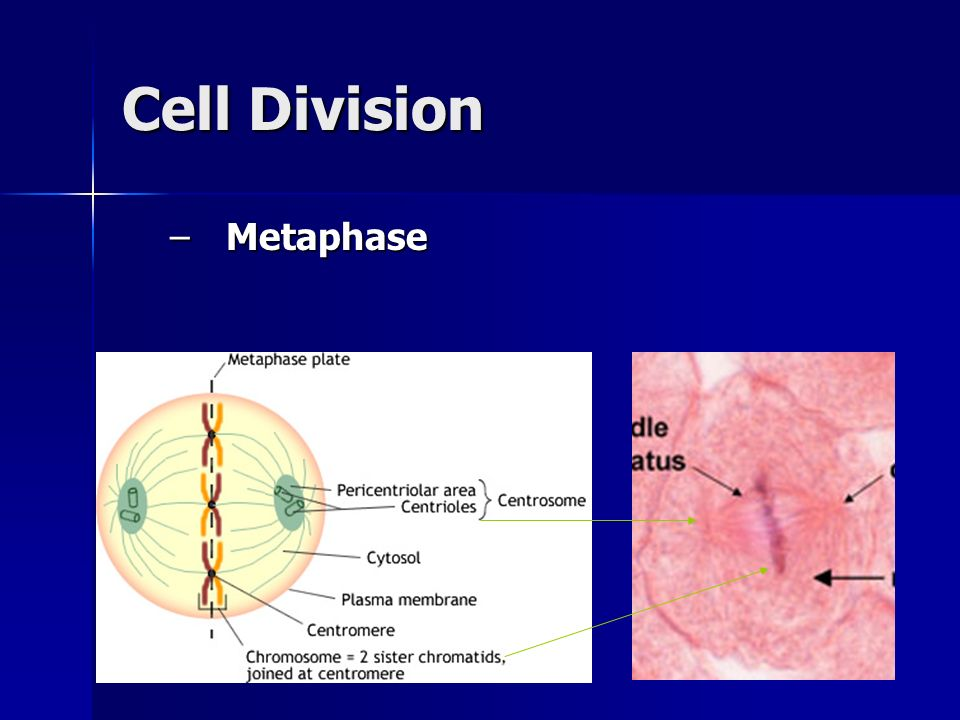 Cell Division Metaphase