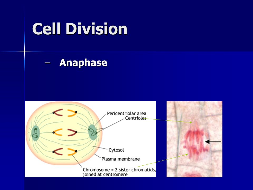 Cell Division Anaphase