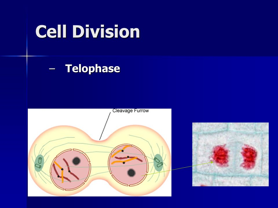 Cell Division Telophase