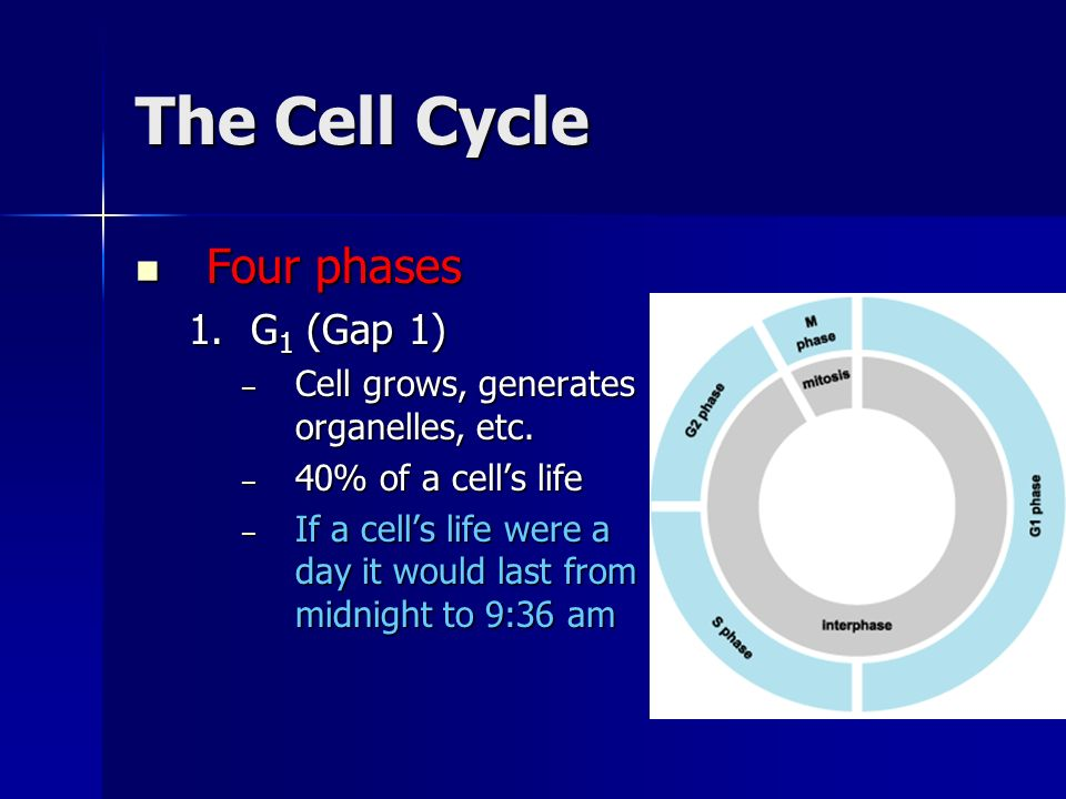 The Cell Cycle Four phases G1 (Gap 1)
