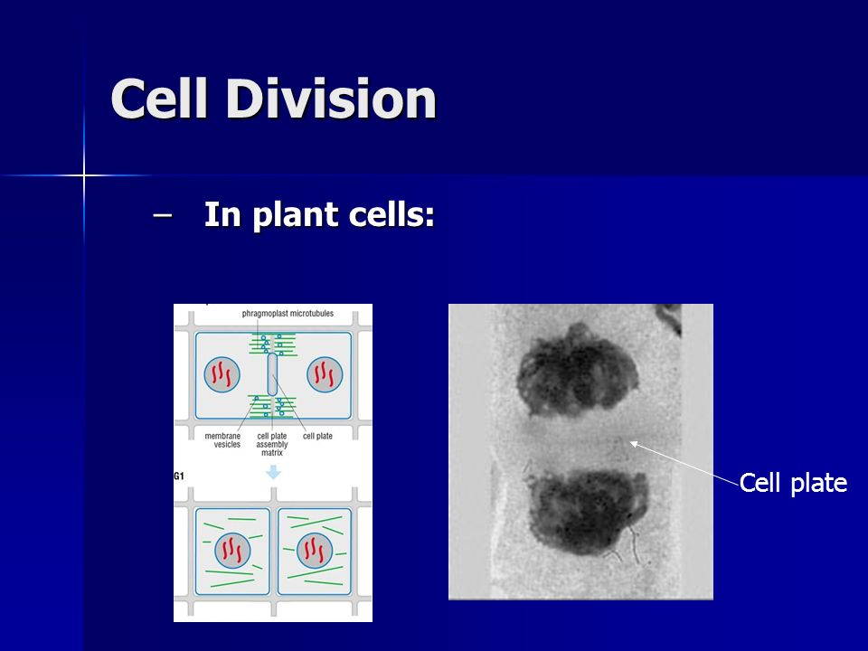 Cell Division In plant cells: Cell plate