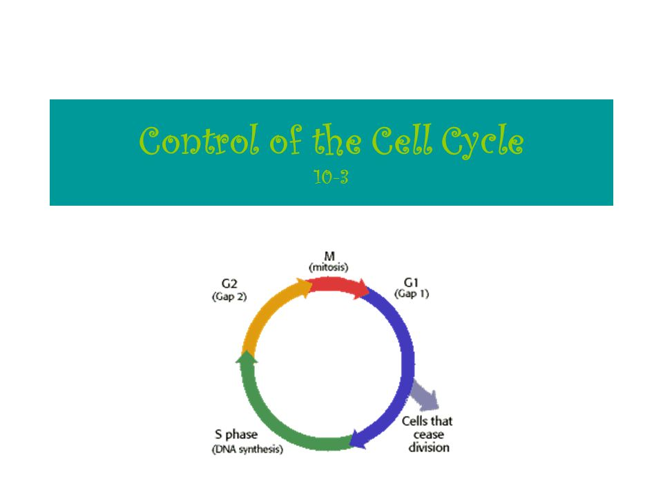 Control of the Cell Cycle 10-3