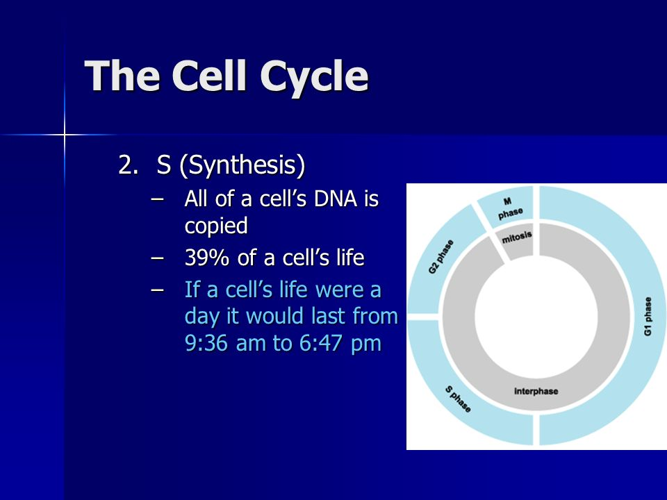 The Cell Cycle S (Synthesis) All of a cell's DNA is copied
