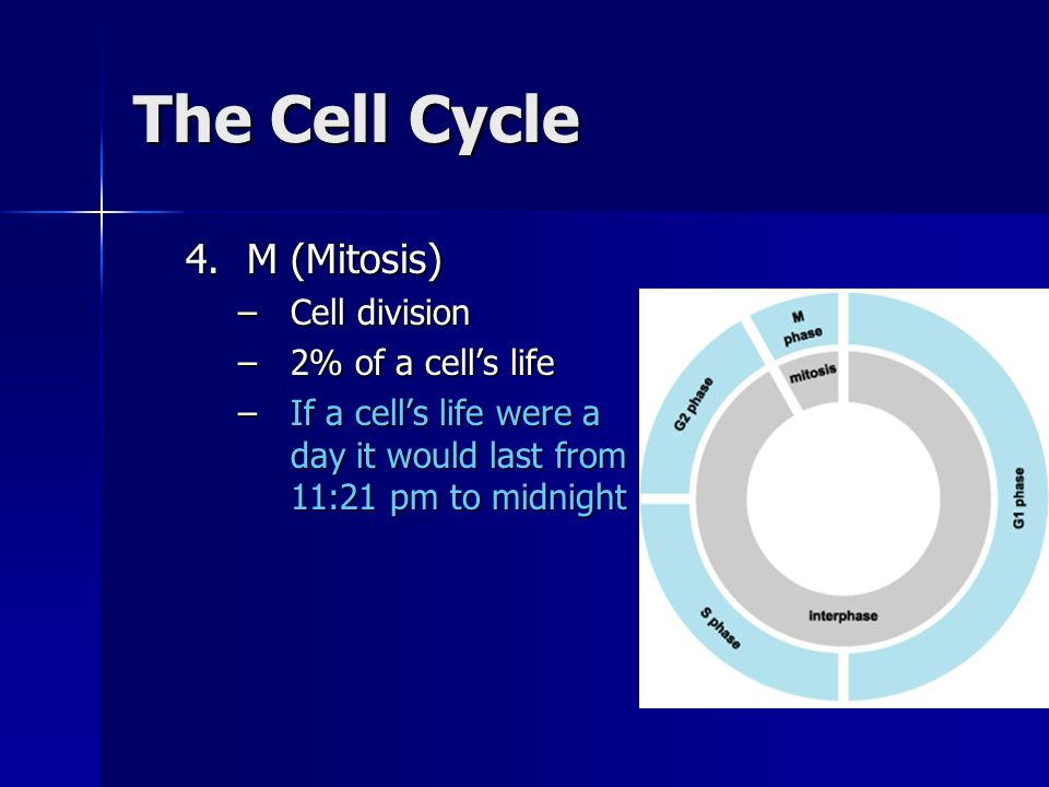 The Cell Cycle M (Mitosis) Cell division 2% of a cell's life