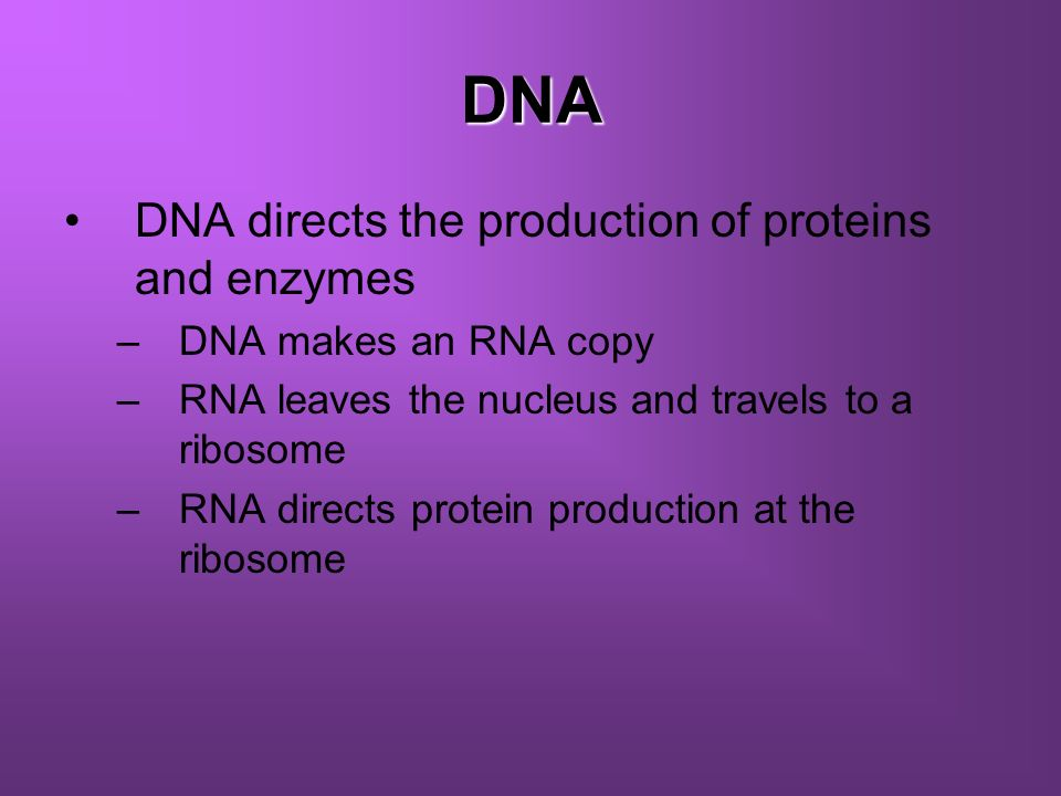 DNA DNA directs the production of proteins and enzymes