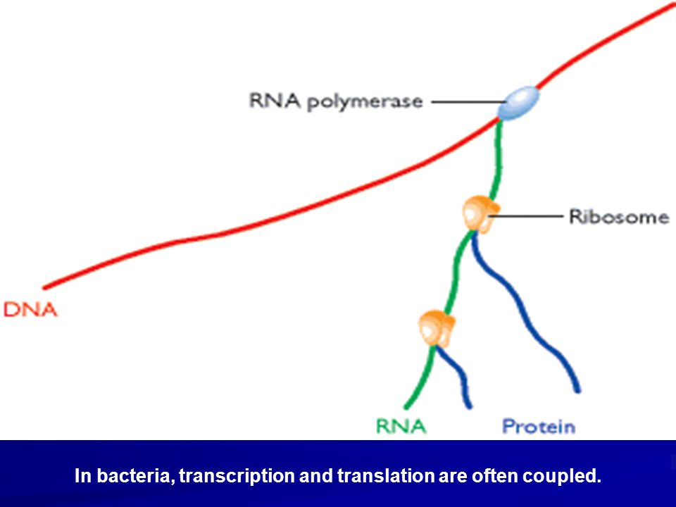 In bacteria, transcription and translation are often coupled.