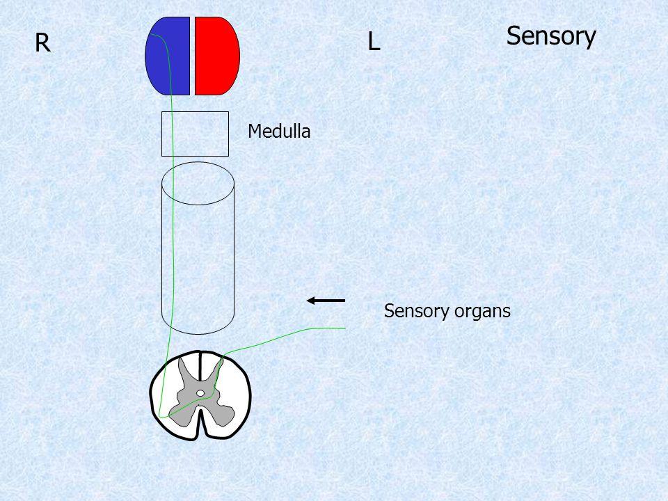 L R Medulla Sensory Sensory organs